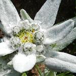 Прометеев цветок - эдельвейс