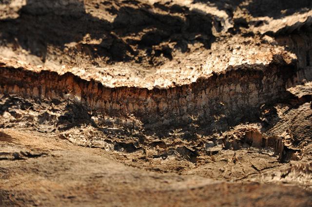 Кора пробкового дерева вблизи